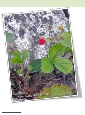 šumska jagoda
