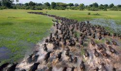 africki-bizon