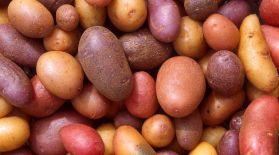 krumpiri-Scott-Bauer-USDA-ARS
