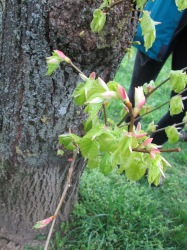 mlado lišće lipe